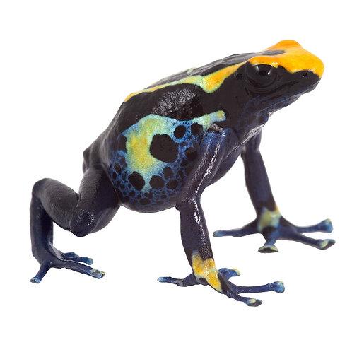 Colbalt Blue Dart Frog (Dentrobates tinctorius 'colbalt')