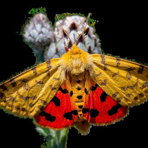 Gooseberry Tiger Moth Caterpillars (Rhyparia purpurata)
