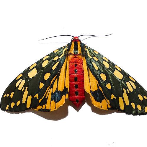 Emerald Tiger Moth Caterpillar (Callindra principalis)