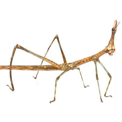 Horsehead Grasshopper  (Paraproscopia latirostris)