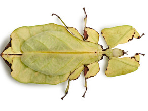 Leaf Insect Care