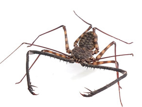 What is a Whip Scorpion??...