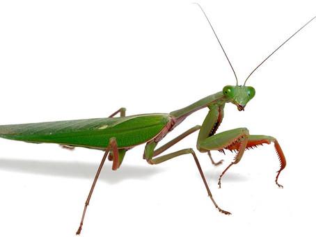 Praying Mantis Care