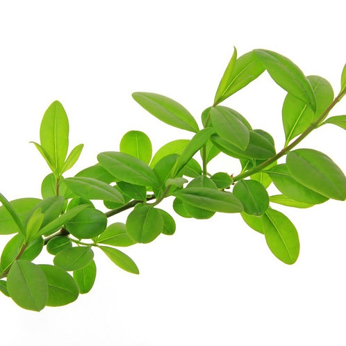 Fresh cut privet stem