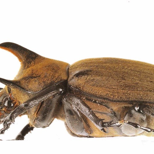 Rhino Beetle Grubs (Megasoma gyas porioni)