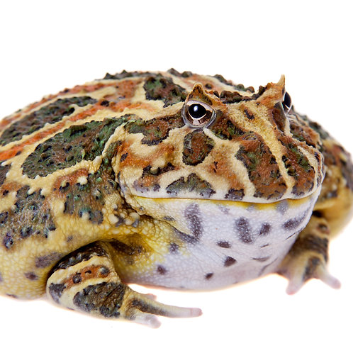 Chacoan Horned Frog (Ceratophrys cranwell)