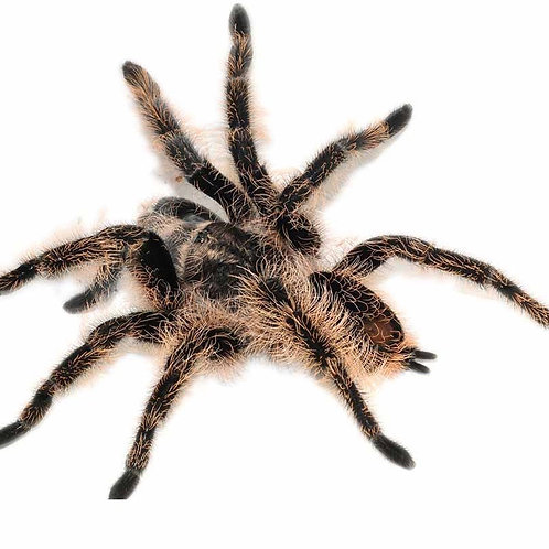 Curly Haired Tarantula (Brachypelma albopilosum)