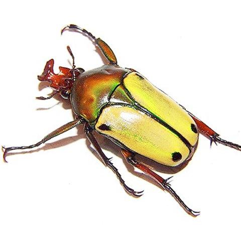 African Fruit Beetle grubs(Eudicella loricata)