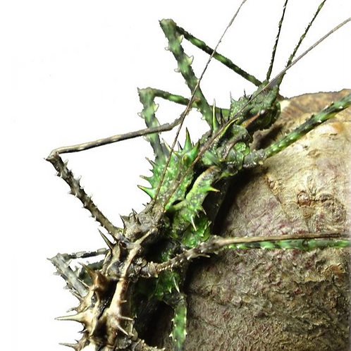 Moss Mimic Stick Insect Nymphs (Brockphasma spinifemoralis)
