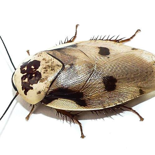Centurion Cockroach Nymph (Gyna centurio)