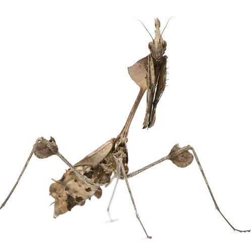 Wandering Violin Mantis Nymph (Gongylus gongylodes)