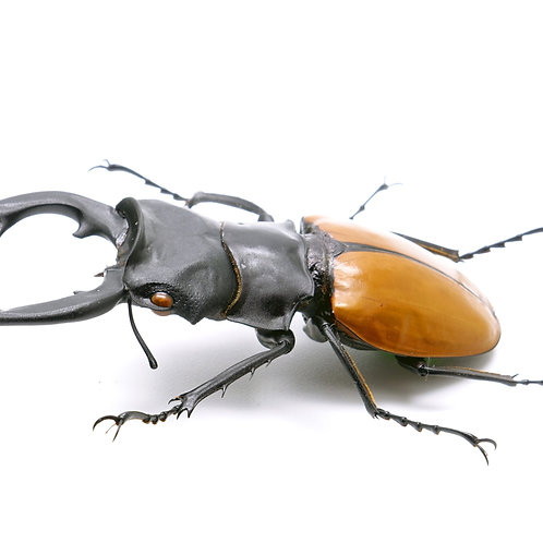 Fighting Giant Stag Beetle Adult Pair (Hexarthrius parryi)