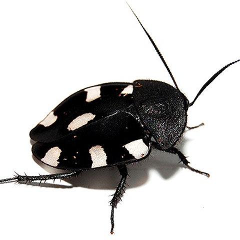 Indian Domino Cockroach (Therea petiveriana)