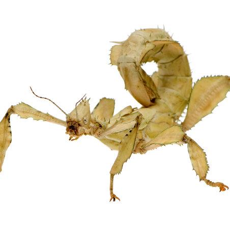 Macleays Spectre Nymphs (Extatosoma tiaratum)