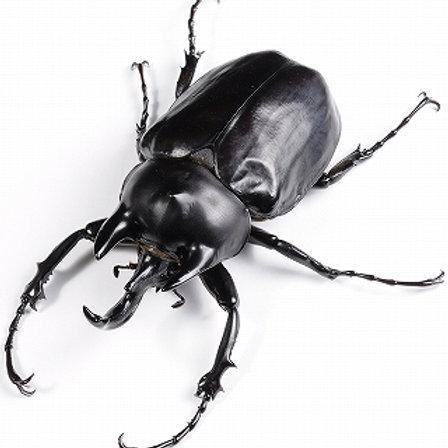 Rhino Beetle Grubs (Megasoma mars)