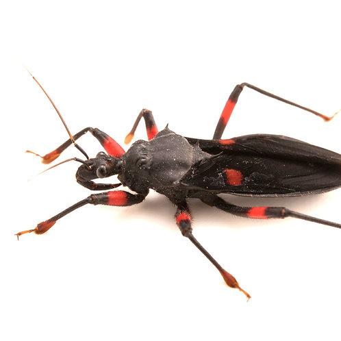Red Spotted Assassin Bugs (Platymeris rhadamanthus)