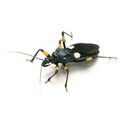White Spotted Assassin Bugs (Platymeris biguttatus)
