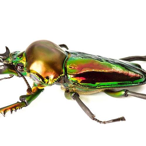Rainbow Stag Beetle grubs (Phalacrognathus muelleri)