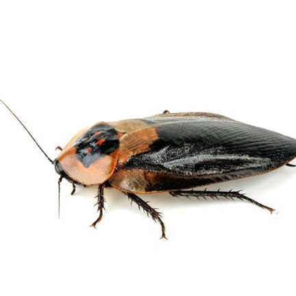 Black Winged Deathhead Cockroach (Blaberus craniifer)