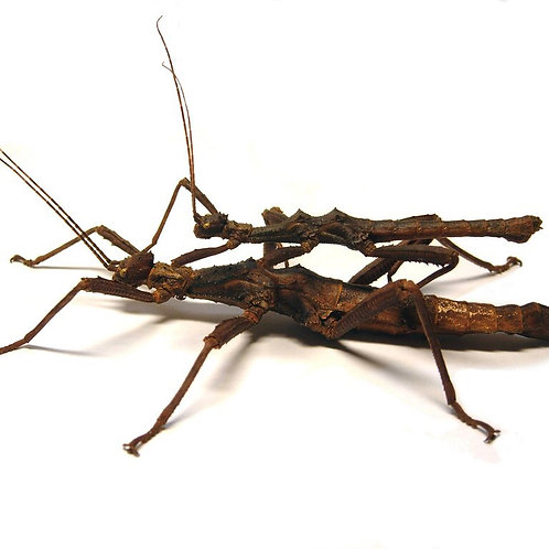 Thorny Stick Insect Nymphs (Trachyaretaon brueckneri)