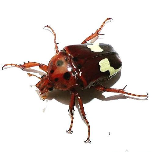 Zig Zag Fruit Beetle Grubs (Anisorrhina flavomaculata)