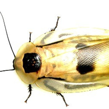 Deathhead Cockroach (Blaberus craniifer)