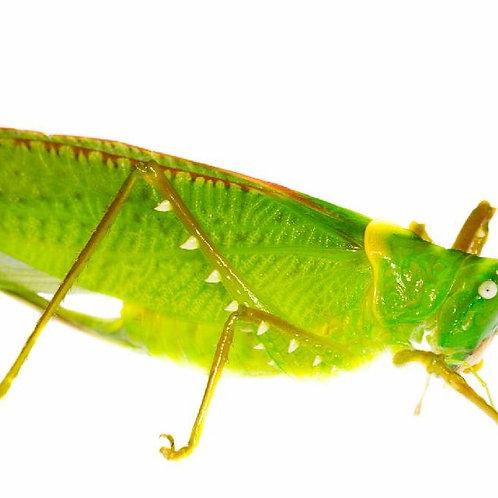 Predatory Katydid (Copiphora gorgonensis)