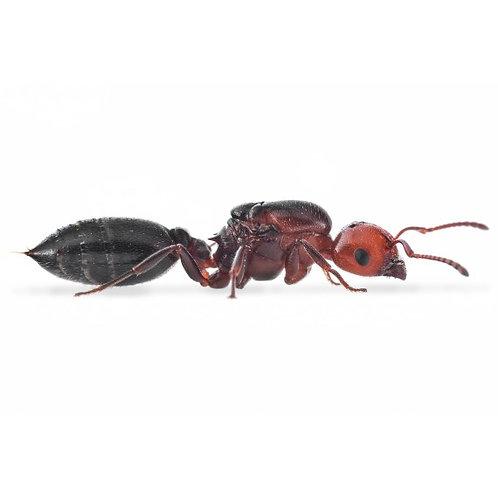 Acrobat Ants (Crematogaster scutellaris)