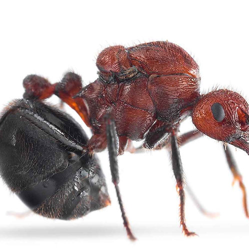 Bicoloured Arched Ant (Myrmicaria brunnea)