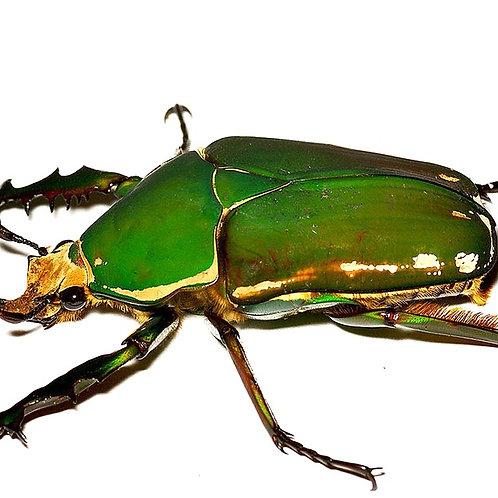 Giant Flower Beetle Grub (Mecynorrhina torquata immaculicollis)