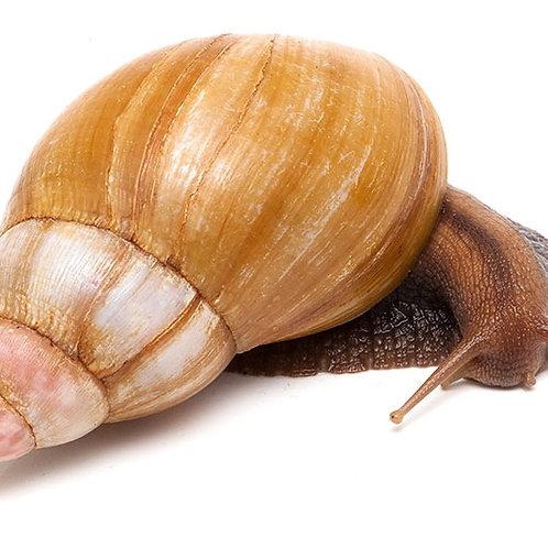 'Rodatzi' Land Snail (Achatina fulica 'rodatzi')