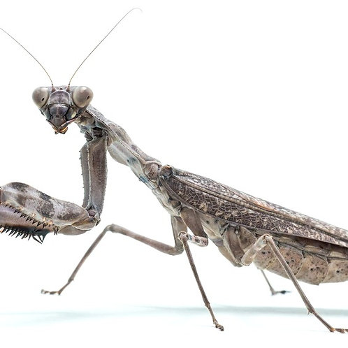 Indonesian Double Shield Mantis (Pnigomantis mediconstricta)