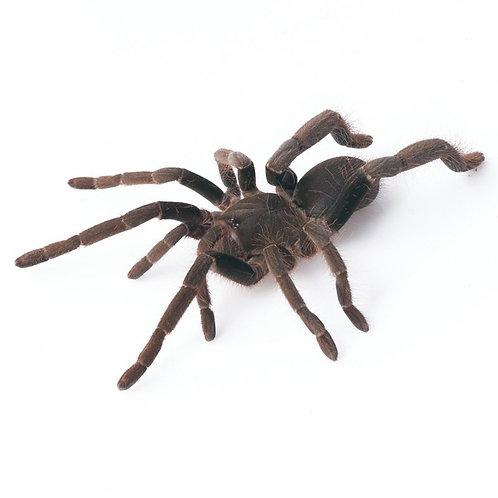 Nigerian Brown Tarantula (Hysterocrates sp)