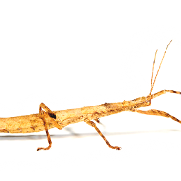 Guadeloupe Stick Insect Nymph (Lamponius guerini)
