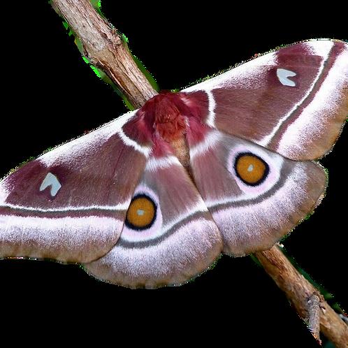 Madagascan Silkmoth Cocoon (Bunaea aslauga)