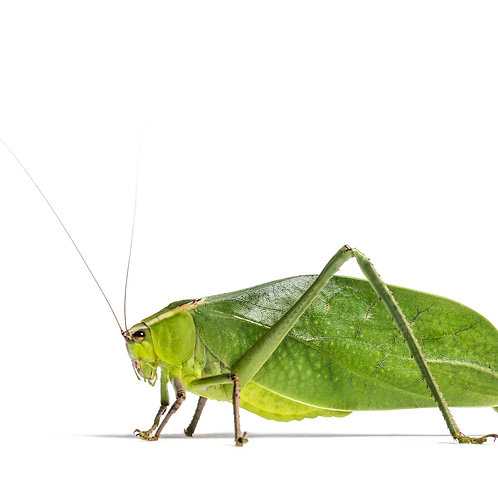 Floridian Katydid (Stilpnochlora couloniana)