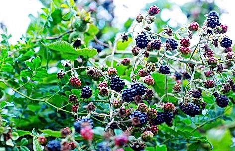 PeonyLim-BlackBerry-Jam-Jelly-16-1400x90