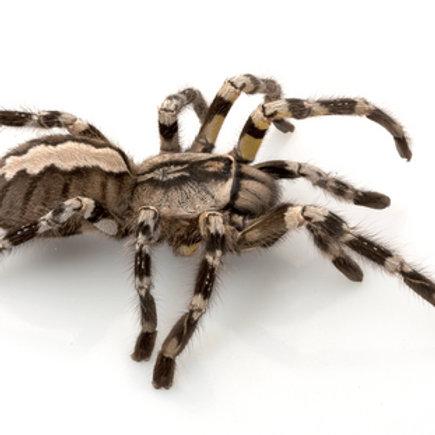 Indian Ornamental Tarantula (Poecilotheria regalis)