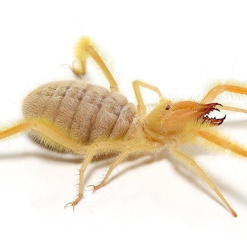 Hairy Camel Spider (Paragaleodes sp.)