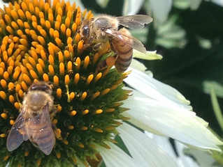 The Smallest Hurricane Victims:  The Campaign to Help Caribbean Honeybees