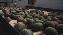 PIVANO - Creemos en el Mango
