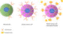 Cells diagram.png