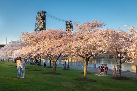 Portland Cherry Blossoms 2020