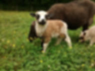 Big Ram Lamb 2016.jpg