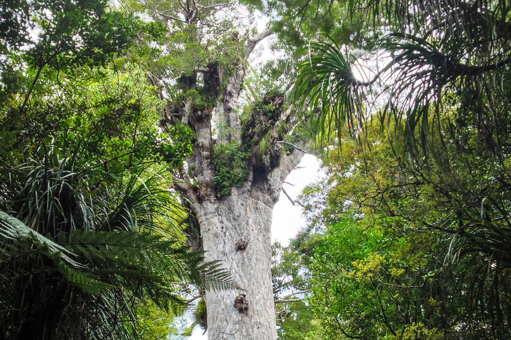 Tane Mahuta. Lord of the Forest. It is difficult to estimate the age, but it's possible that this tree seeded at the time of Christ, over 2000 years ago.