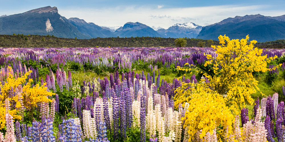 Lupins on the road to Milford Sound. Biking along, we had to stop & spend a good hour wandering amongst them.