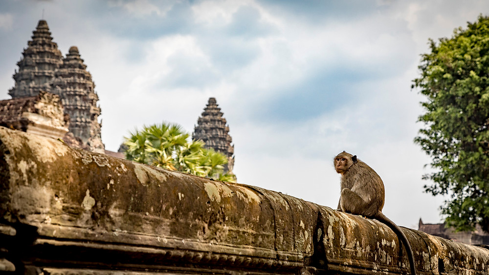 At Angkor Wat, there used to be many more monkeys than there are now, but they are still to be found