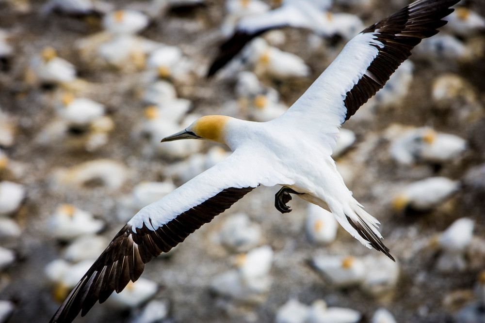 the Gannet colony at Muriwai. When did 'gannet' become a term for consuming too much? Do they really?