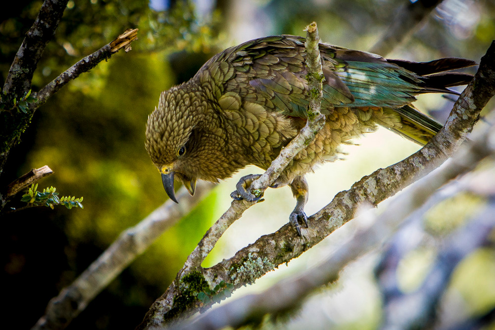 The South Island Kea - the world's only alpine parrot & one of the most intelligent birds
