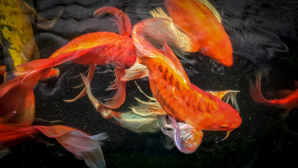 We stopped of for a quick bite at a restaurant hidden behind a petrol station… and they had a large pond with Koi carp.